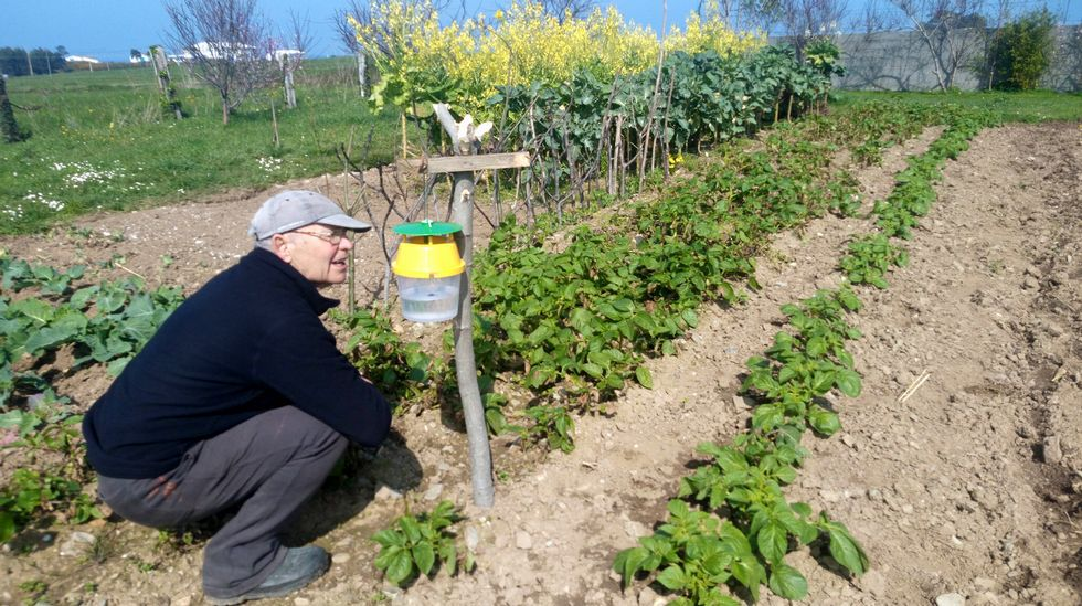 El gijonés Tino Llano, de Monteana, muestra las patatas afectadas por la polilla guatemalteca.Patata afectada por la polilla guatemalteca