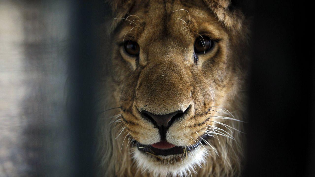Marjan, el león que se convirtió en símbolo del zoo de Kabul
