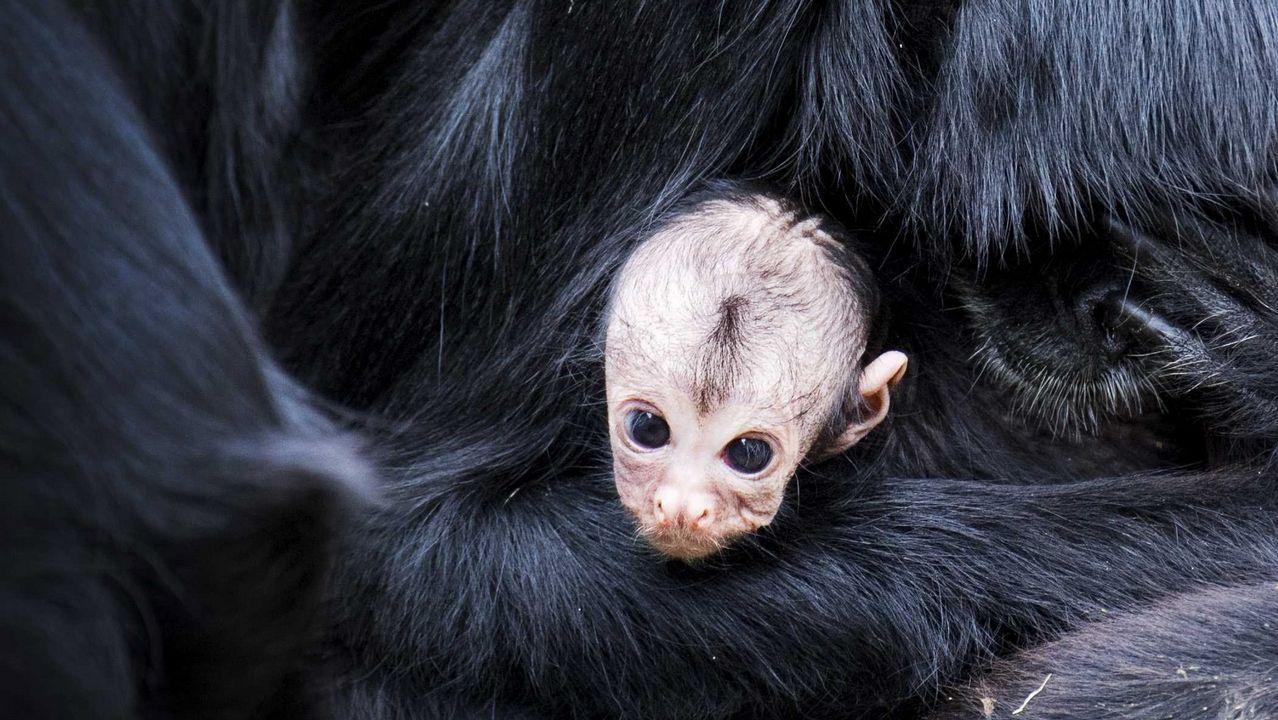 .Una cría de mono araña se refugia en los brazos de su madre en el parque para primates Apenheul, en Apeldoorn, Holanda. Tan solo unos cientos de monos arañas colombianos viven en libertad
