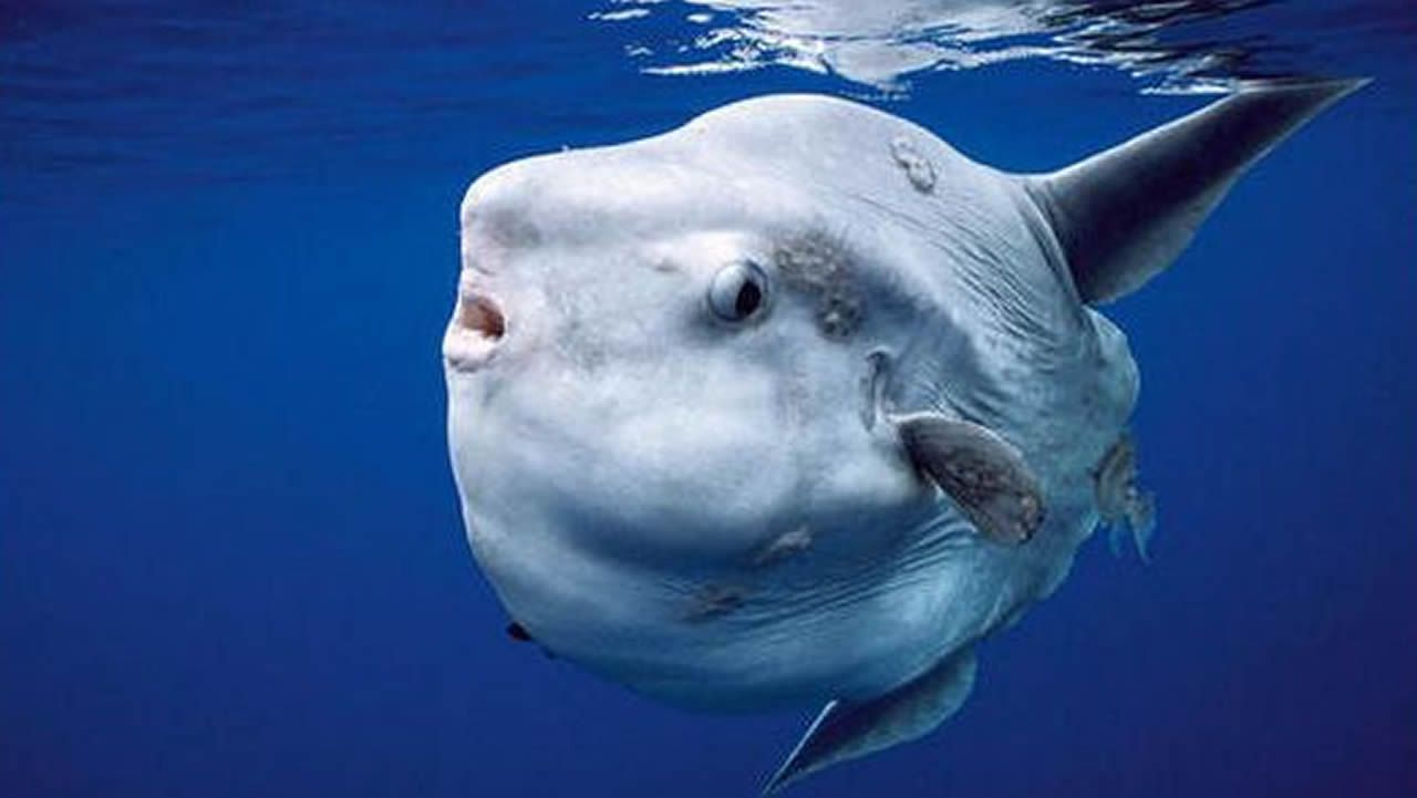 Pez Luna: Estos peces tienen una natación muy lenta y es frecuente que acaben varados. En lo que llevamos de año, se recogieron tres ejemplares.