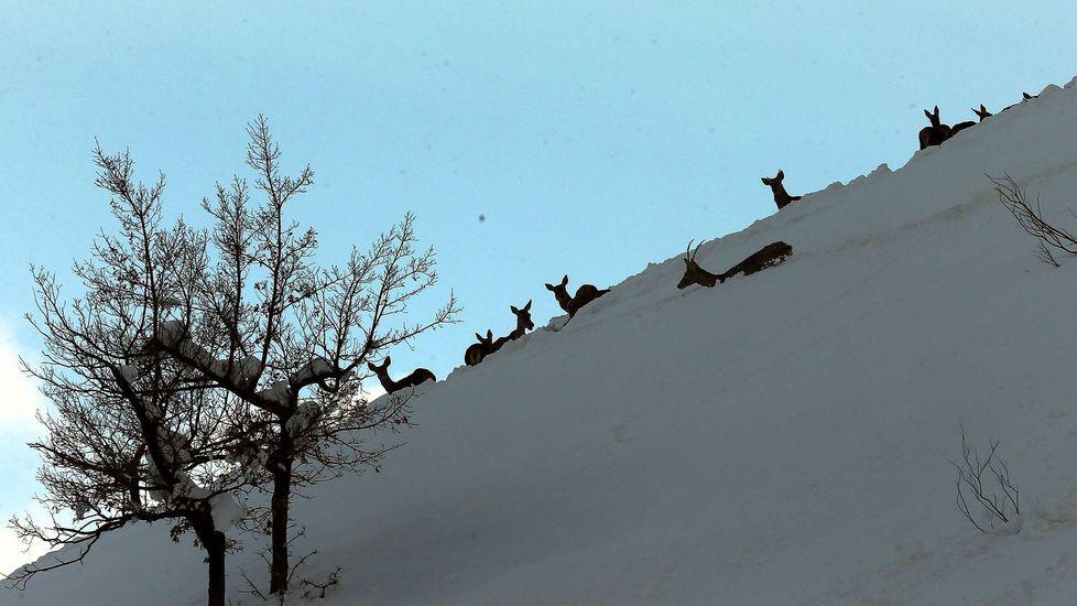 Un hombre muestra el espesor de la nevada en Riofrío, en la vertiente asturiana de San Isidro. Venados en la nieve en el concejo de Aller