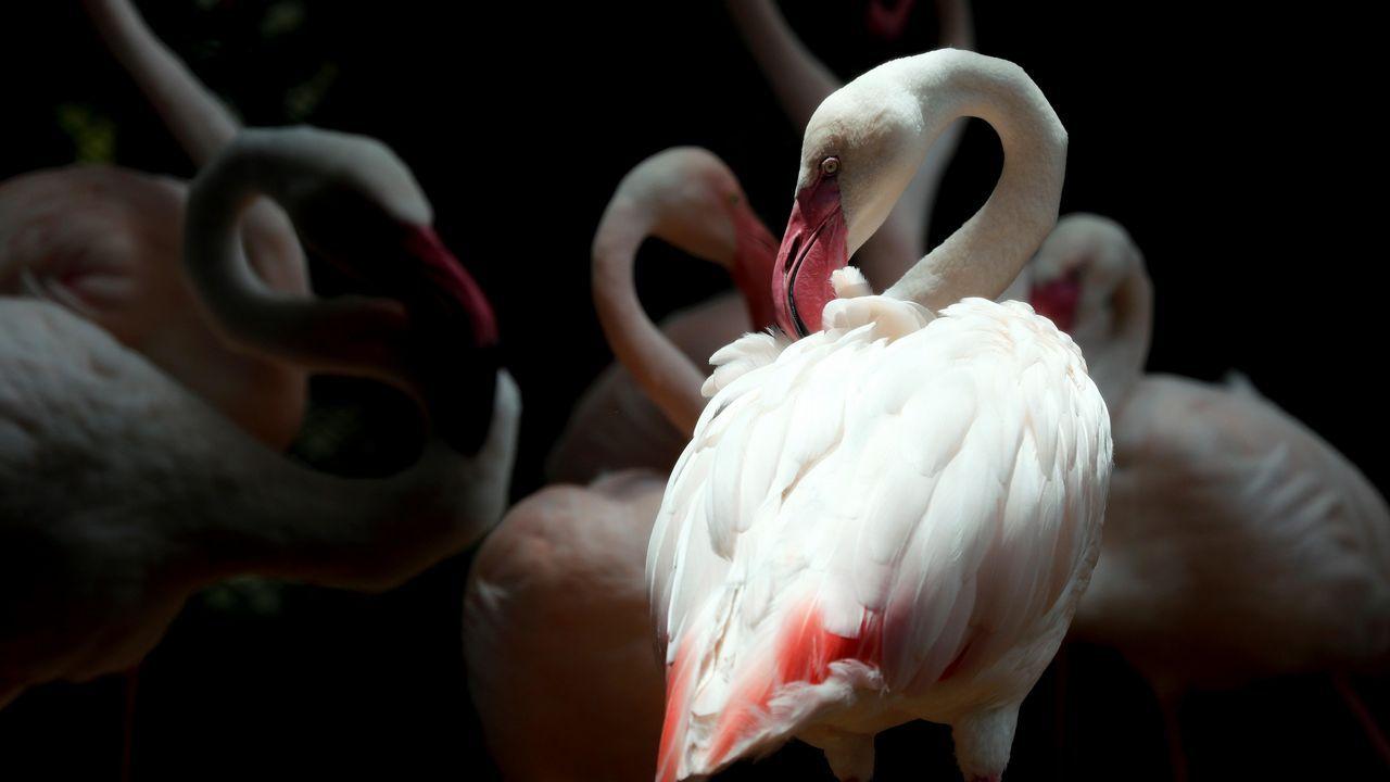 .Varios flamencos descansan en sus instalaciones en el Zoo Dusit de Bangkok (Tailandia)