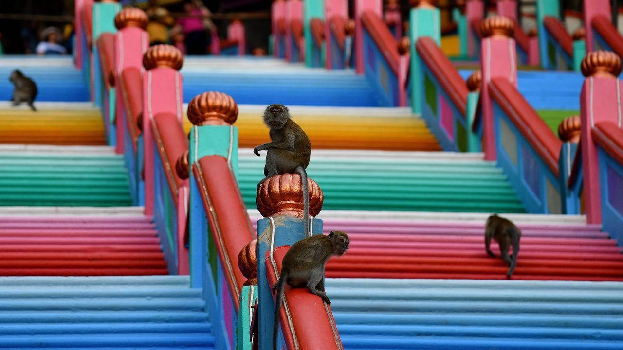 Varios monos pasean por las escaleras que conducen al templo Batu, en Kuala Lumpur