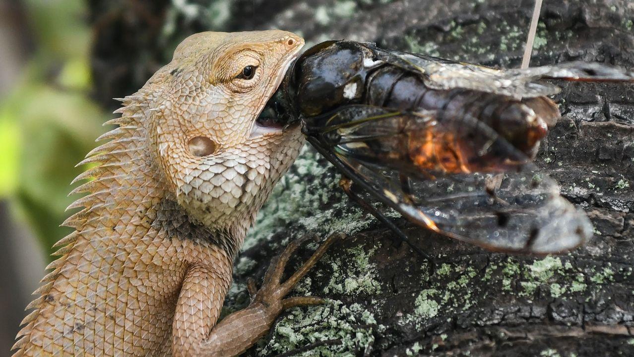 Un lagarto come un bicho en Putrajaya, a las afueras de Kuala Lumpur (Malasia)
