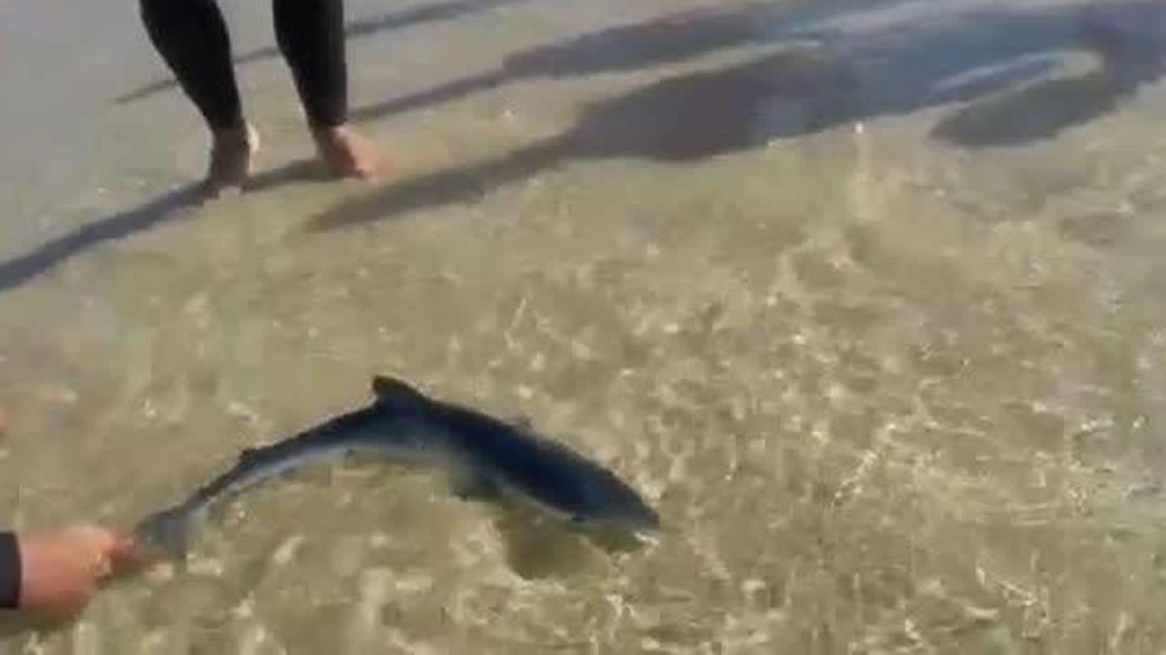 Tiburones en Galicia: «Son crías de quenlla, os adultos non se acercan á costa».