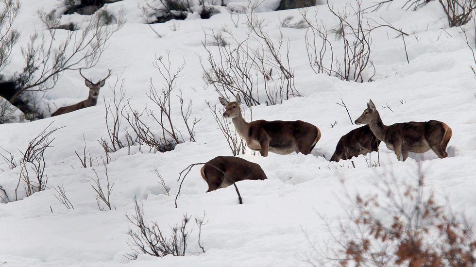 .Venados entre la nieve en las proximidades del puerto de San Isidro