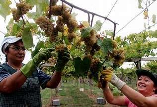 Las labores de recolección se retrasarán en la mayoría de viñedos hasta la segunda quincena de septiembre | GUSTAVO RIVAS
