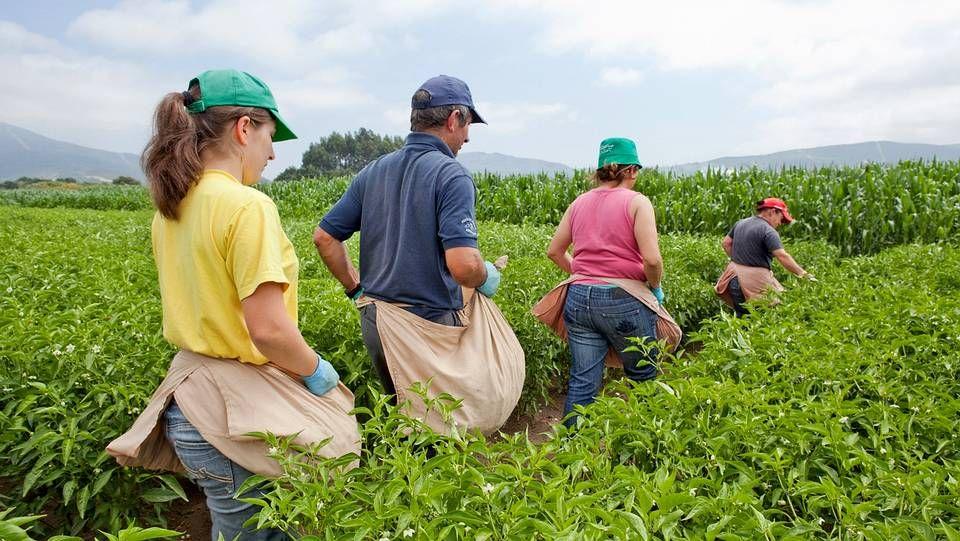 La recolección, casi siempre a las horas de menos sol, ocupa horas y horas del trabajo de los productores.
