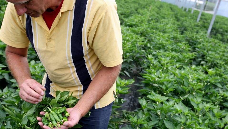 as plantaciones del Pemento do Couto se realizan en el mes de enero en los terrenos de los agricultores de la zona mientras que la comercialización del producto se inicia, salvo improvistos meteorológicos, en primavera.