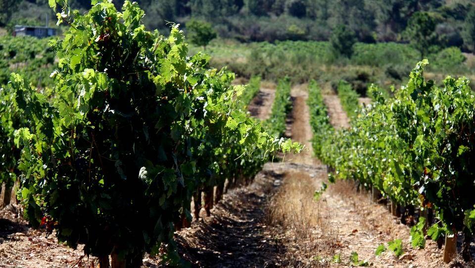 En la comarca de Valdeorras hay algo más de 1.150 hectáreas de viñedo amparadas por el consejo regulador de la denominación de origen.