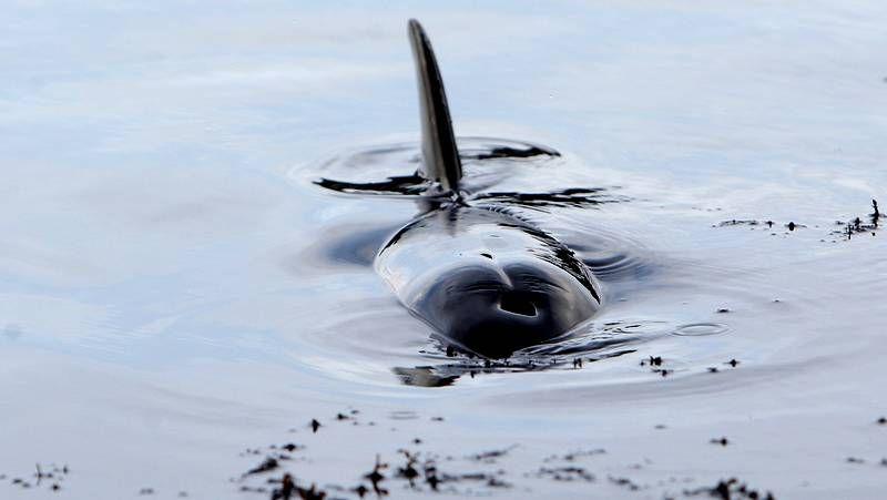 Un delfín vara en la playa de A Toxa