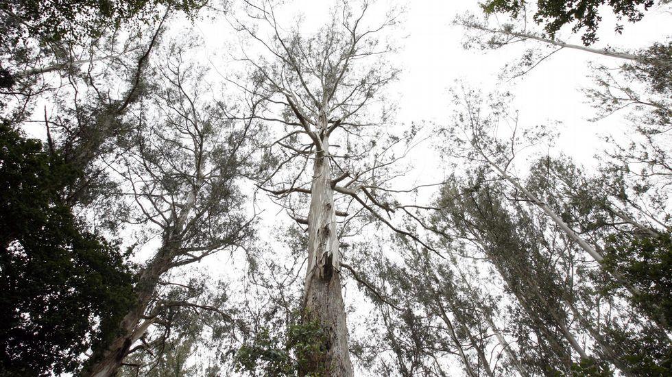 Los castros luchan contra el eucalipto