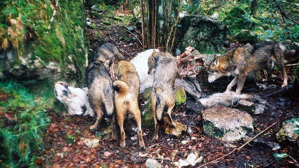 Una manada de lobos come de una carroña.