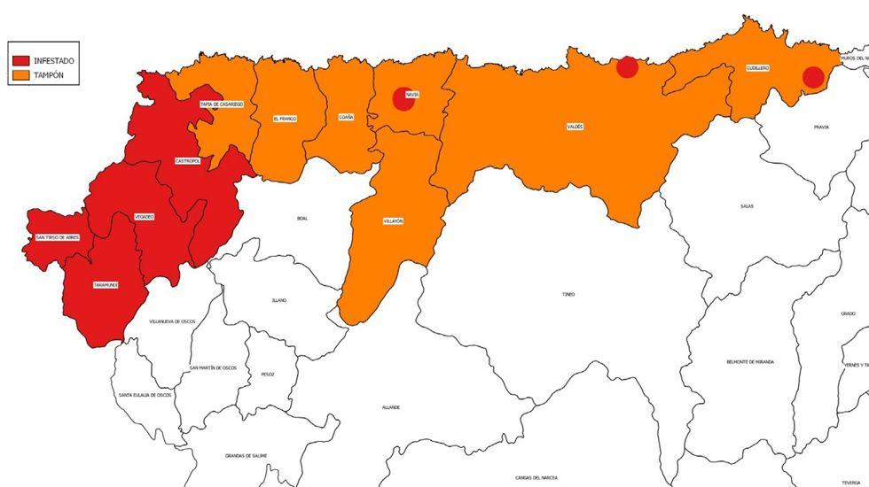 Concejos infestados y zonas tampón por la plaga de la polilla guatemalteca en Asturias