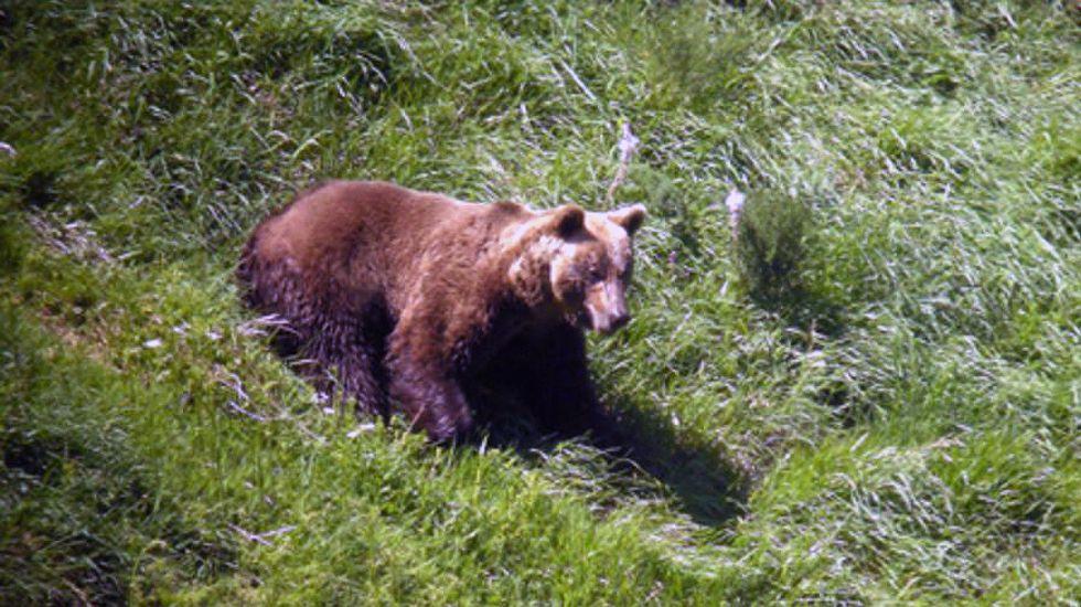 Un oso pardo cantábrico
