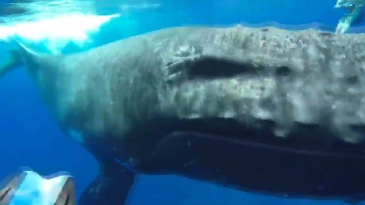 La ballena que salvó a una bióloga del ataque de un tiburón en pleno Pacífico