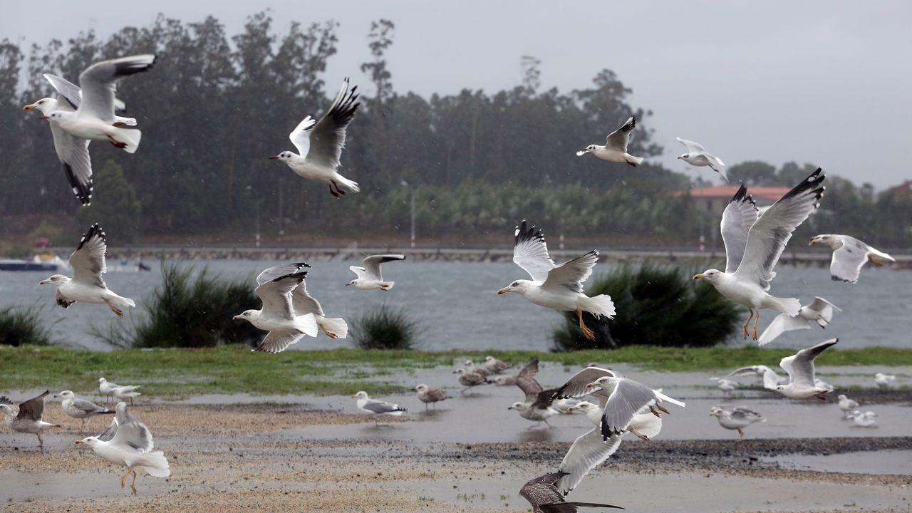 Gaviotas en el puerto de Tragrove, en Cambados