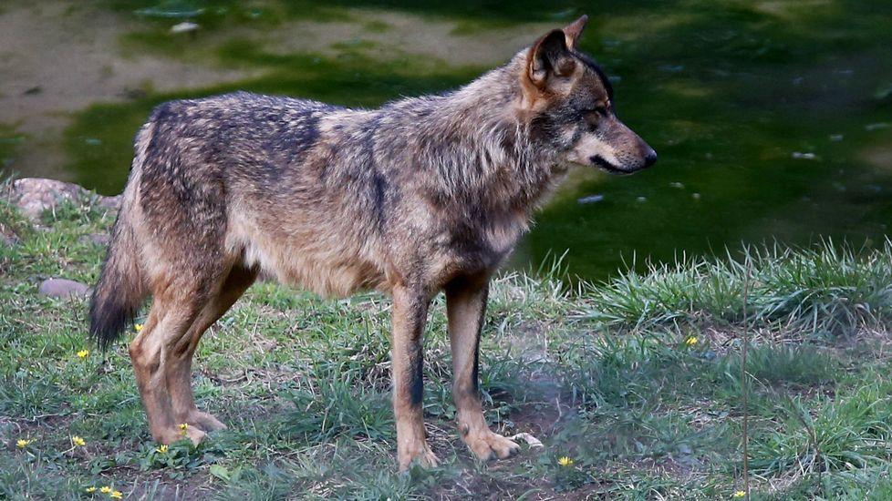 .Un lobo en el cercado de Belmonte