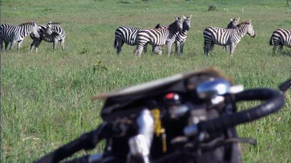 El manillar de la bici de Álvaro Neil frente a una manada de cebras en Uganda.El manillar de la bici de Álvaro Neil frente a una manada de cebras en Uganda