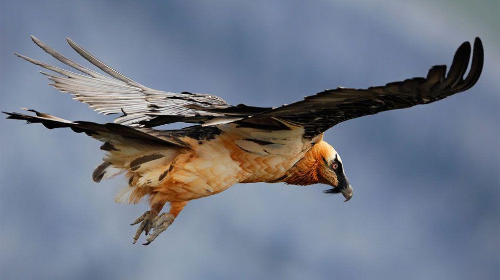 La Guardia Civil libera una partida de aves capturadas en Redondela.Un ejemplar de quebrantahuesos