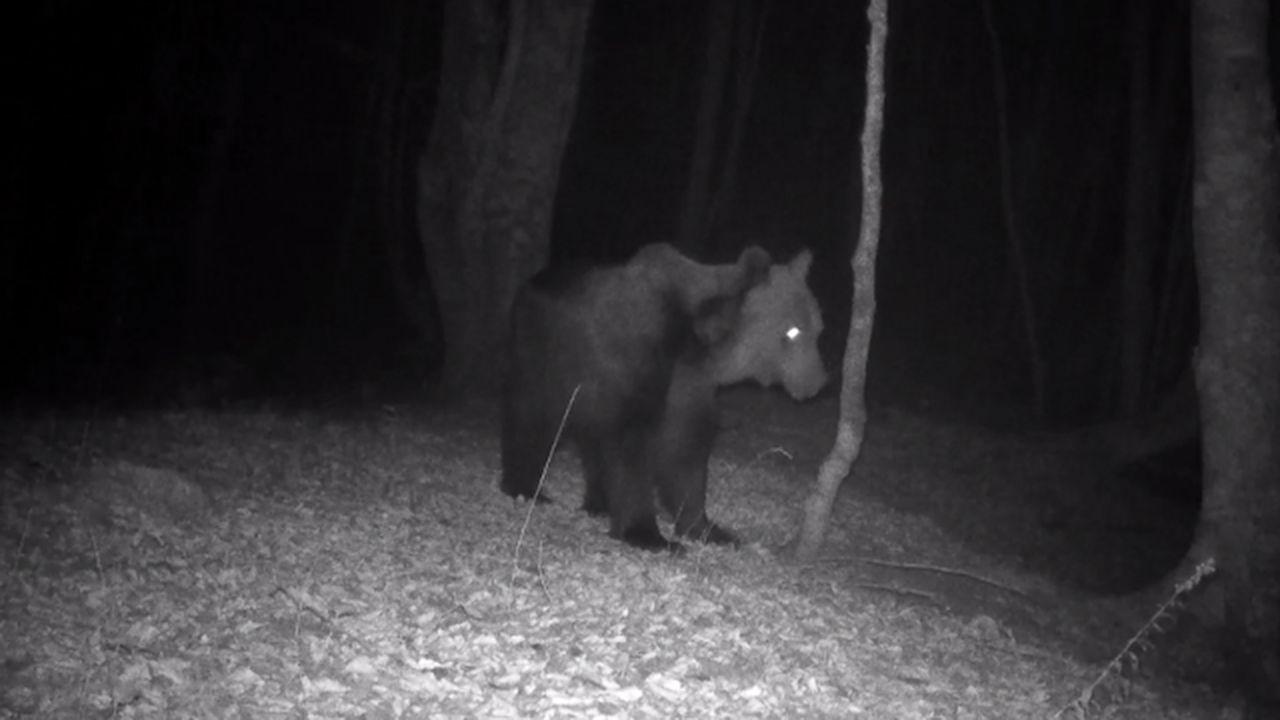 El FAPAS explica las diferencias entre un oso y un jabalí.Un oso pardo