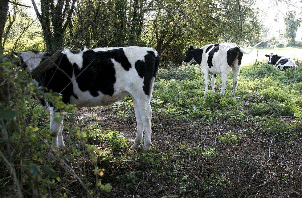 .Las vacas, en un estado famélico y enfermas, campaban a sus anchas por los prados de la zona.