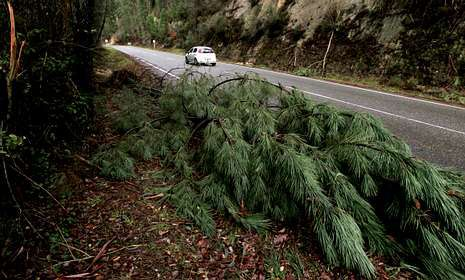 .Un pino caído por la fuerza del veinto y el agua junto a la carretera entre A Cañiza y Crecente.