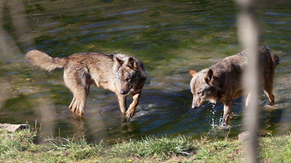 Dos lobos en el cercado de Belmonte