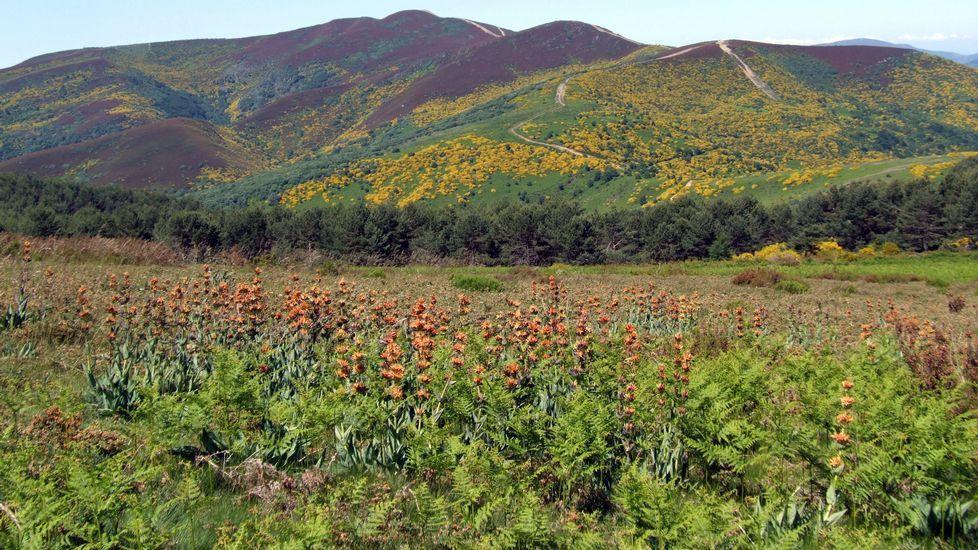 Poboación de xanzá (en castelán genciana), unha planta medicinal propia da flora da serra