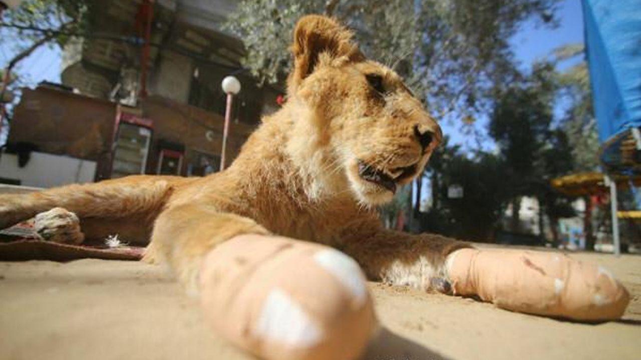 Salvaje retirada de las garras de una joven leona en Gaza.La cantante ovetense Cristina del Valle
