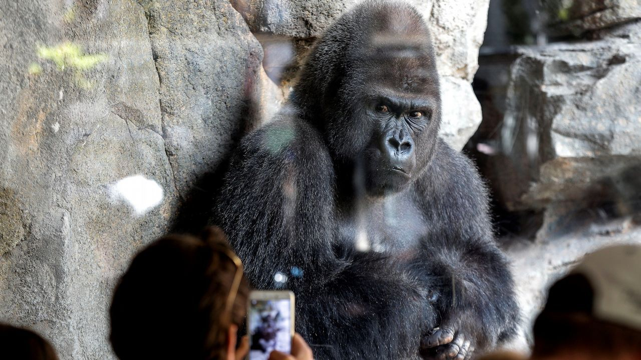 .El Bioparc de Valencia celebra el segundo cumpleaños de la gorila Virunga, la segunda nacida en la Comunitat Valenciana fruto del Programa Europeo de Conservación de una de las especies catalogadas en «peligro crítico» por la Unión Internacional para la Conservación de la Naturaleza. En la imagen, Ebo, hermano de la pequeña Virunga, observa a los visitantes