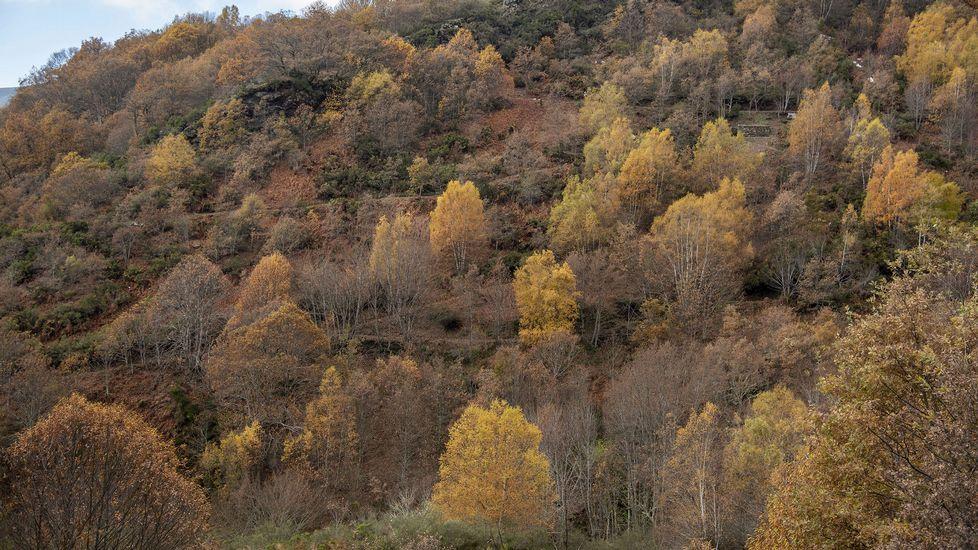 Bosque de castaño de la aldea quiroguesa de Vieiros