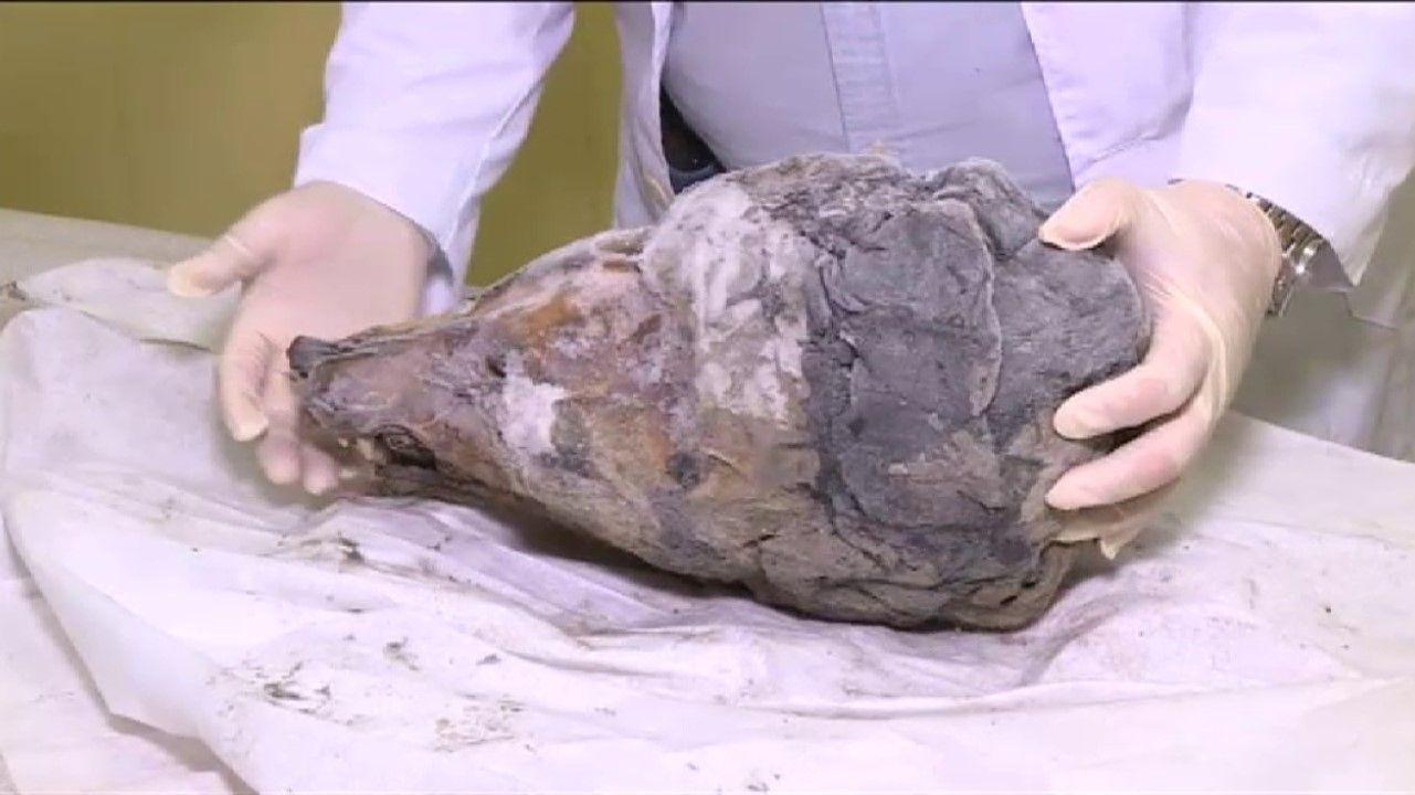 Aparece el cráneo de un lobo de 40.000 años bajo el hielo de Siberia.Guillermo Ulacia