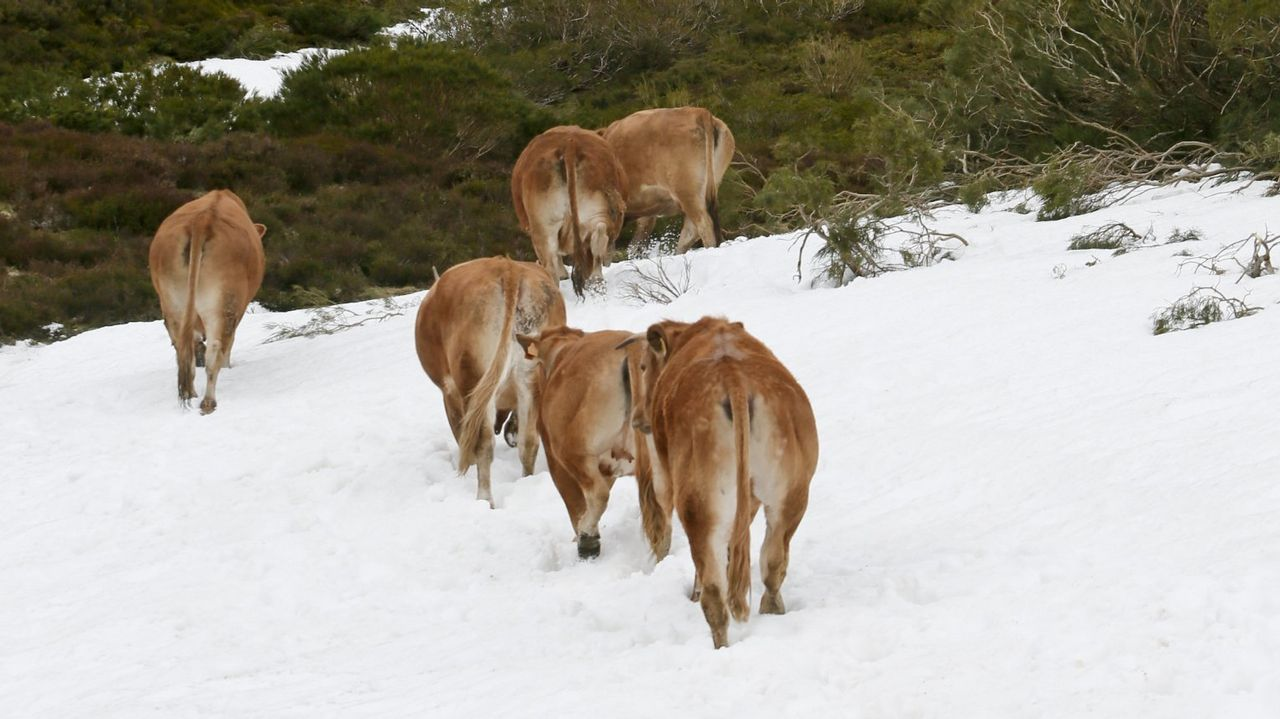 En primavera, los ganaderos conducen a las vacas a los pastos de Campo de Agua, en León. Ahora ellas vuelven solas